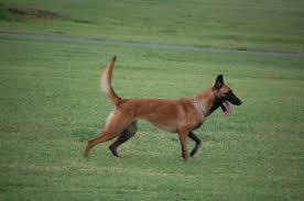 belgian shepherd video belgian malinois breeder oklahoma