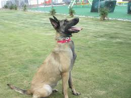 belgian shepherd north carolina search u0026 detection training greensboro nc dogs by andy k 9