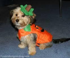 Yorkie Halloween Costumes Dogs Designer Dogs Yorkipoo Yorkie Poo Pumpkin Halloween Dog