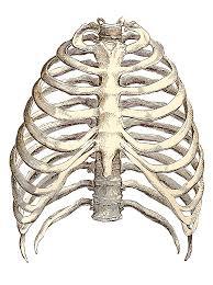 rib cage drawing inspiration rib cage anatomy and