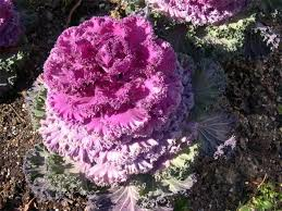 can you eat ornamental kale flowering annual perennial adorable