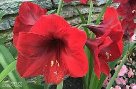 amaryllis flowers growing amaryllis in water how to plant amaryllis bulbs in water