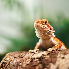bearded dragons sale buy live bearded dragons sale petco
