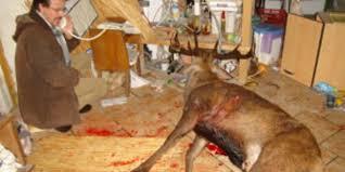 cerf cuisine le cerf finit dans la cuisine