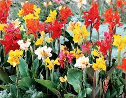Canna Lily Cana Lilies Beautiful Mix Of Colors Into A Single