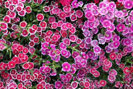 Fragrant Flowers For Garden - best perennial flowers ideas for easy perennial flowering plants