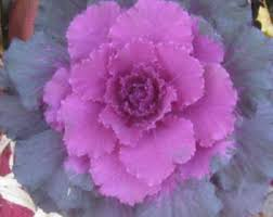 flowering kale etsy