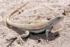 Seeking Lizard Review Lizard Listing A Timeline Midland Reporter Telegram