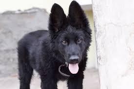 belgian sheepdog newsletter black belgian shepherd puppy free stock photo