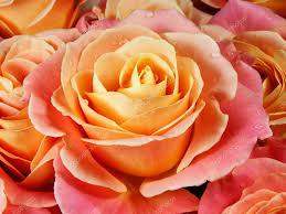 Colorful Roses Closeup Colorful Roses Pink Yellow Orange U2014 Stock Photo
