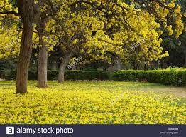 Yellow Flowering Trees - tabebuia argentea trees fully covered with yellow flowers at the