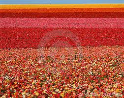 san diego flowers ranunculus flower field san diego ca stock image image