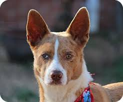 australian shepherd german shepherd mix dingo adopted dog yadkinville nc australian shepherd german
