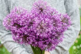 allium flowers allium flowers stock photo picture and royalty free image image