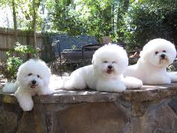 bichon frise breed standard legend u0026 lore bichons bichon frise puppies for sale