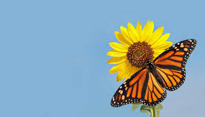 monarch butterfly on sunflower against blue sky stock photo