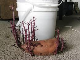 in door plant put in pot vide growing sweet potatoes in 5 gallon buckets five gallon ideas