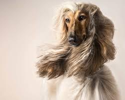 us afghan hound psbattle a glamorous afghan hound photoshopbattles
