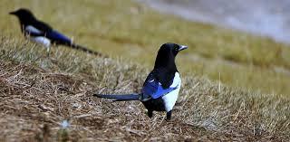 imagenes del animal urraca urraca pájaro ave foto gratis en pixabay