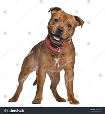 staffordshire bull terrier 9 months old stock photo 137762162