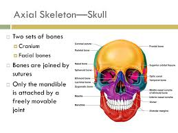 Parts Of Ethmoid Bone The Skeletal System Parts Of The Skeletal System Bones