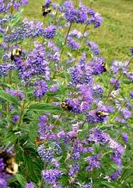 Bluebeard Flower - caryopteris clandonensis bluebeard spirea from north creek nurseries