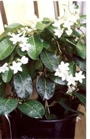 Vine House Plants Who Grows Madagascar Jasmine