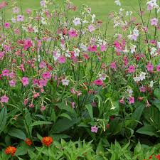 nicotiana seeds 15 flowering tobacco annual flower seeds