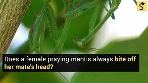 Mantis Meme - fact check does a female praying mantis always eat her mate s head