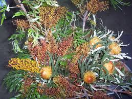 australian native screening plants banksias archives mallee native plants mallee native plants