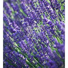 Most Fragrant Lavender Plant Lavender U0027hidcote U0027