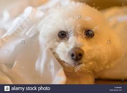 bichon frise 17 years old bichon frise dog stock photos u0026 bichon frise dog stock images alamy