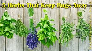 plants that keep mosquitoes away 5 herbs that keep bugs away herbs that naturally repel