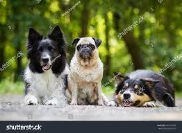 belgian shepherd or border collie border collie pug stock photo 443597008 shutterstock