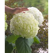 white hydrangea proven winners 3 gal incrediball smooth hydrangea live shrub