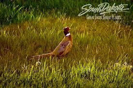 state bird of south dakota postcards sd gov