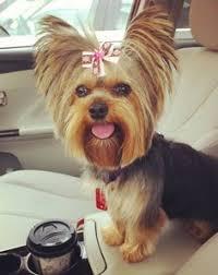 haircuts for yorkie dogs females making yorkie hair cuts a simple diy method grooming