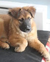 belgian sheepdog mix puppies german shepherd golden retriever mix puppy dream dog pinterest