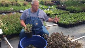 how to prune flowering shrubs and other plants growing in nursery