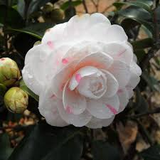 camellia flowers favorable 10pcs camellia flowers seeds potted plants garden flower