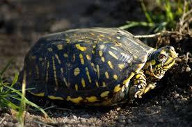 ornate box turtle terrapene ornata pet chelonian