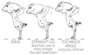 Dog Anatomy Front Leg Structure And Lameness