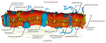 What Organelles Are Found In Epithelial Cells The Structure Of Plasma Membranes Enables Control Of The Passage