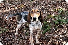 bluetick coonhound with cats sarah adopted dog cleveland ga treeing walker coonhound