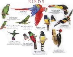 guide belize birds