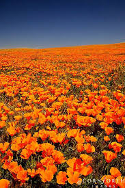 California Poppy Best 25 California Poppy Ideas On Pinterest California Poppy