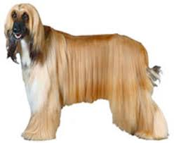 weimaraner vs afghan hound breeds and standards ckc