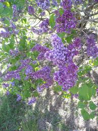 tree climbing and lilac admiring in highland park memoirs of my