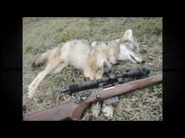 Can Coyotes See Red Light Home Made Nv Coyote 3 Youtube