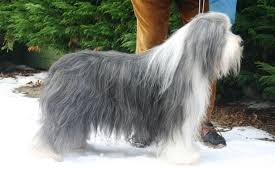 bearded collie x terrier seagull bearded collies seagullbeardeds nl